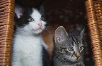 Kleine Katzen / 2 von Heidi Bollich