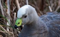 Cape Barren Goose, Australia von Steven Ralser