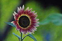 Wunderschöne Sonnenblume by Anita Becker