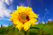 And once the Sunflowers von Yuri Hope