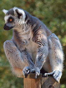 Lemur katta, ringtailed lemur, Madagaskar von Dagmar Laimgruber