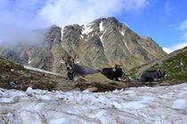 Kühe am Schnee by rickeybauer