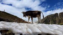 Kuh auf Eis von rickeybauer