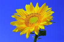 Sonnenblume by Patrick Lohmüller