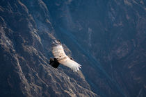 Condor by Alex Torres