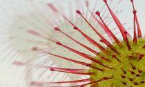 Drosera rotundifolia by Clemens Greiner