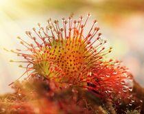 Sonnentau im Herbst by Clemens Greiner