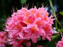 Rhododendronblüte by gscheffbuch