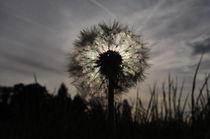 Pusteblume in der Abendsonne by Anita Becker