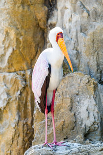 African Yellow Billed Stork Bird by Radu Bercan