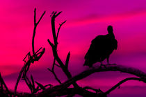 Vulture at Top of Tree Dark Scene by Daniel Ferreira Leites Ciccarino