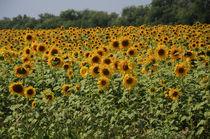 sunflowers von Natalia Akimova