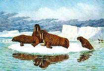 Walrus Bulls and Cows (Odobenus rosmarus) by vexhbt