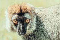 Lemur Portrait On Madagascar Island von Radu Bercan