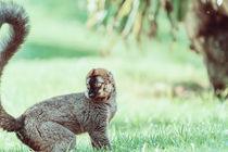 Lemur Portrait On Madagascar Island by Radu Bercan