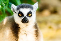 Lazy Lemur Portrait On Madagascar Island von Radu Bercan