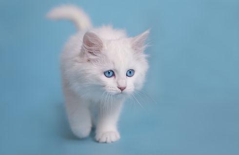 Dsc-0039-dot-sibirer-kitten1-10-16