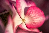 Hortensienblüte von Nicc Koch