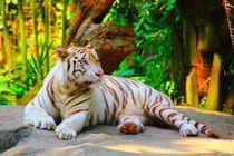 Weißer Tiger von Singapur von ann-foto