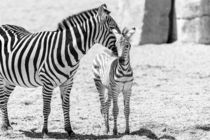 Protective Zebra Mother And Calf In African Savanna von Radu Bercan