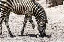 Baby Zebra In African Savanna by Radu Bercan