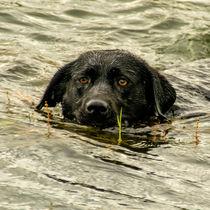 Labrador - Nelli  by Chris Berger