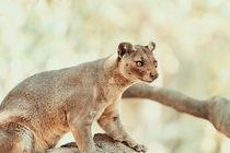 Fossa (Cryptoprocta Ferox) Cat In Madagascar by Radu Bercan