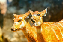 Sitatunga or Marshbuck (Tragelaphus spekii) Antelope In Central Africa von Radu Bercan
