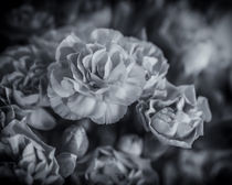 Carnations by James Rowland