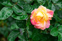 Autumn withered rose with raindrops by Vladislav Romensky
