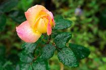 Little autumn rose with blur by Vladislav Romensky