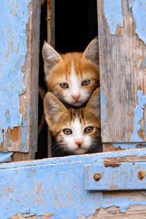 Neugierige Katzenkinder im Fenster - Curious kittens in a window von Katho Menden