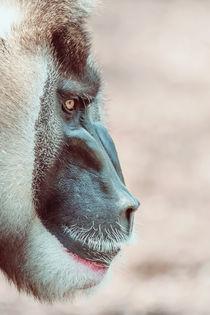 Drill Monkey (Mandrillus Leucophaeus) Portrait by Radu Bercan