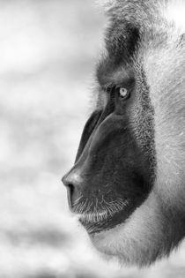 Drill Monkey (Mandrillus Leucophaeus) Portrait von Radu Bercan