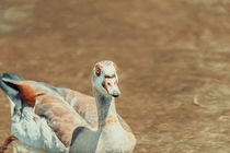 Wild Duck Swimming On Water by Radu Bercan