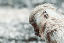 Baby Drill Monkey (Mandrillus Leucophaeus) by Radu Bercan