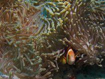 Anemonen-Fisch von Susanna Hansen