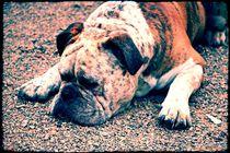 Relaxed Bulldogge  by Sandra  Vollmann