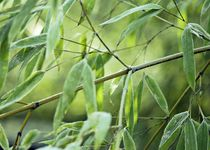 Bambusblätter von Gabi Siebenhühner