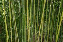 Bambus von Gabi Siebenhühner