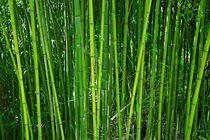 Bambusstangen von Gabi Siebenhühner