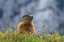 marmot on alpine meadow by Antonio Scarpi