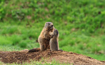 Female marmot with baby von Antonio Scarpi