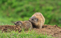 Female marmot with young von Antonio Scarpi