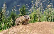 young marmot on alpine meadow by Antonio Scarpi