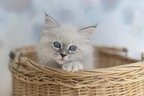 Neva Masquarade Kitten / 3 by Heidi Bollich