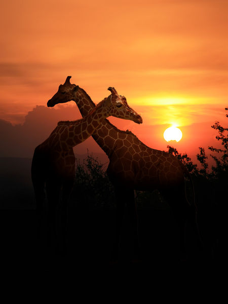 Giraffen-sunset