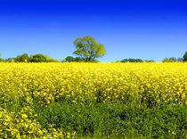 "Rapsfeld ""gelb/blau"" von Zarahzeta ®"