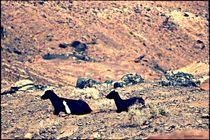 Goats Fuerteventura  by Sandra  Vollmann