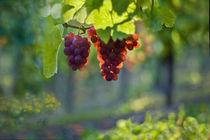 Light fruits by Maria Ismanah  Schulze-Vorberg